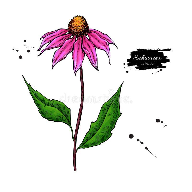 Echinaceavektorteckning Isolerade purpureablomma och sidor Växt- illustration för konstnärlig stil stock illustrationer