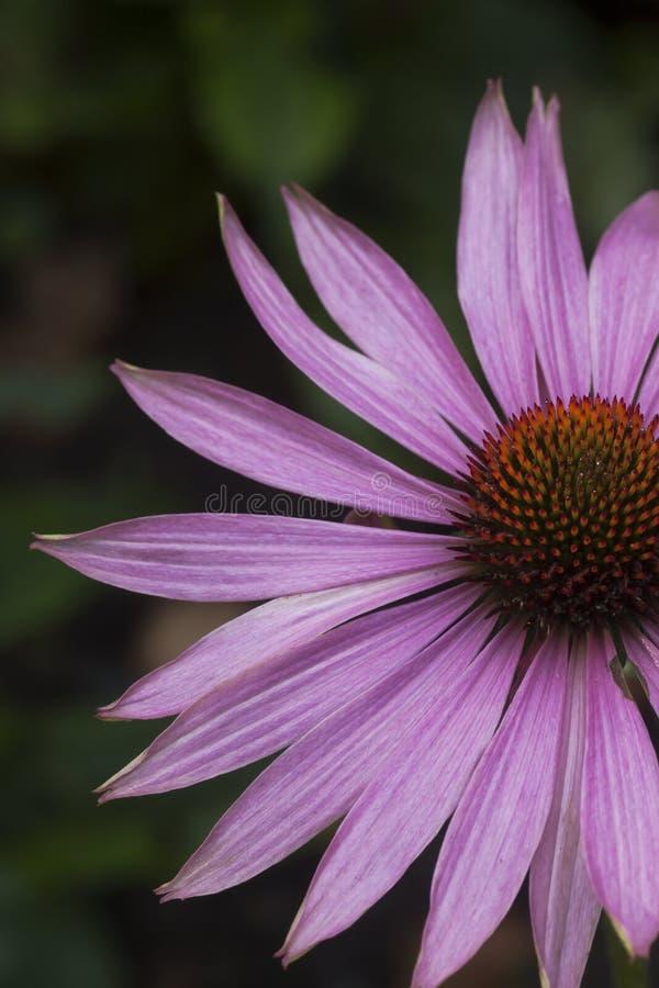 Echinea purpurea. Part of a flower of echinea purpurea royalty free stock photography