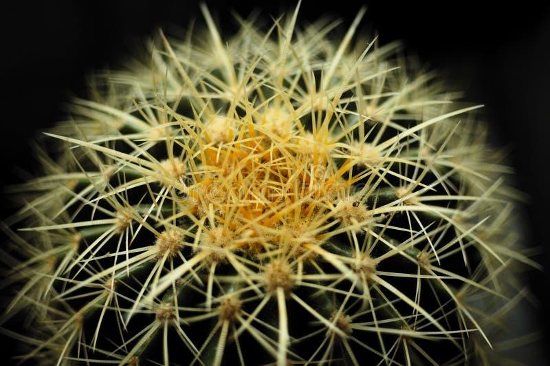 Echinocactus stock images
