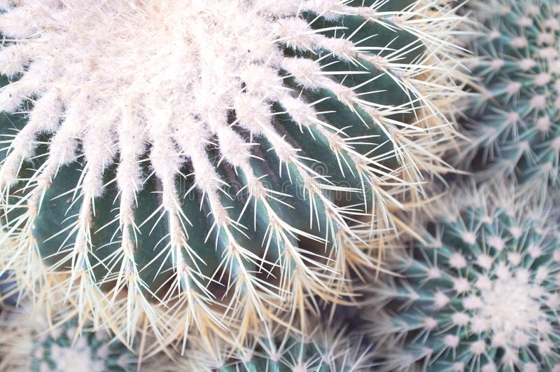 Echinocactus grusonii golden barrel cactus,golden ballormother-in-law`s cushion close-up. Nature background.  royalty free stock images