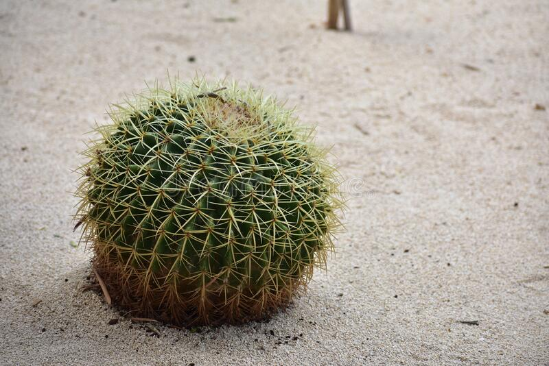 Echinocactus grusonii growing in sand in Haifa Israel. On a sunny day stock photography