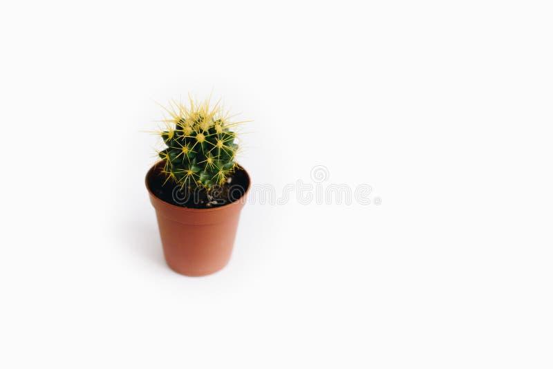 Echinocactus grusonii som isoleras på vit bakgrund fotografering för bildbyråer