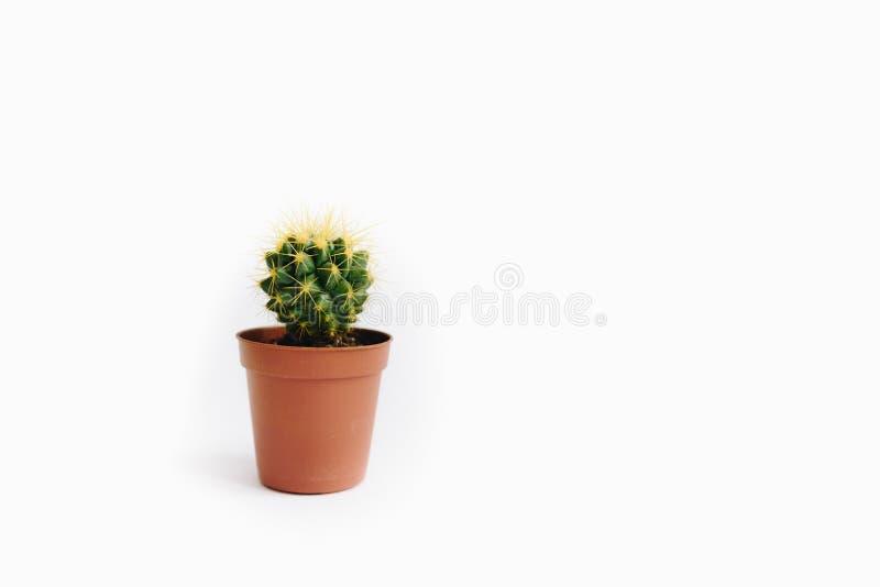 Echinocactus grusonii som isoleras på vit bakgrund royaltyfria foton