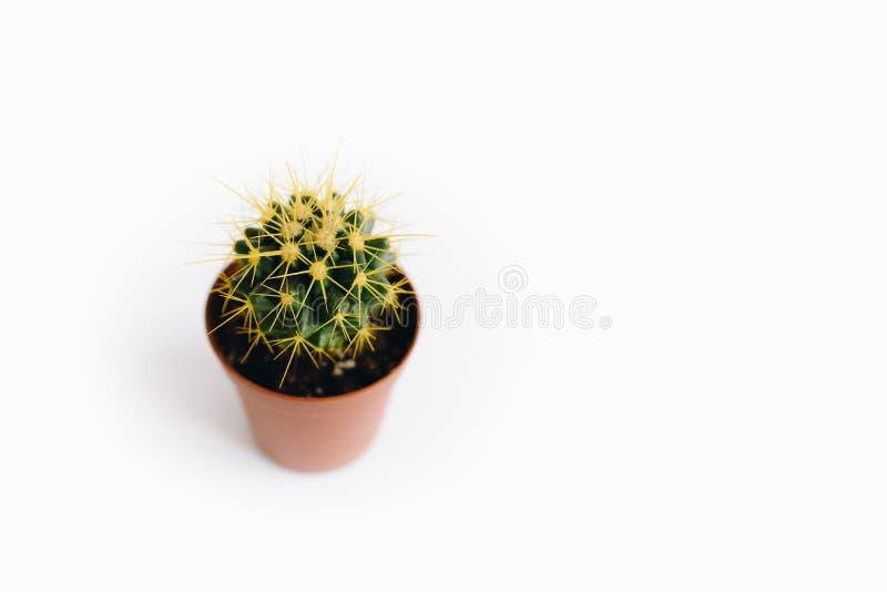 Echinocactus grusonii som isoleras på vit bakgrund arkivfoto