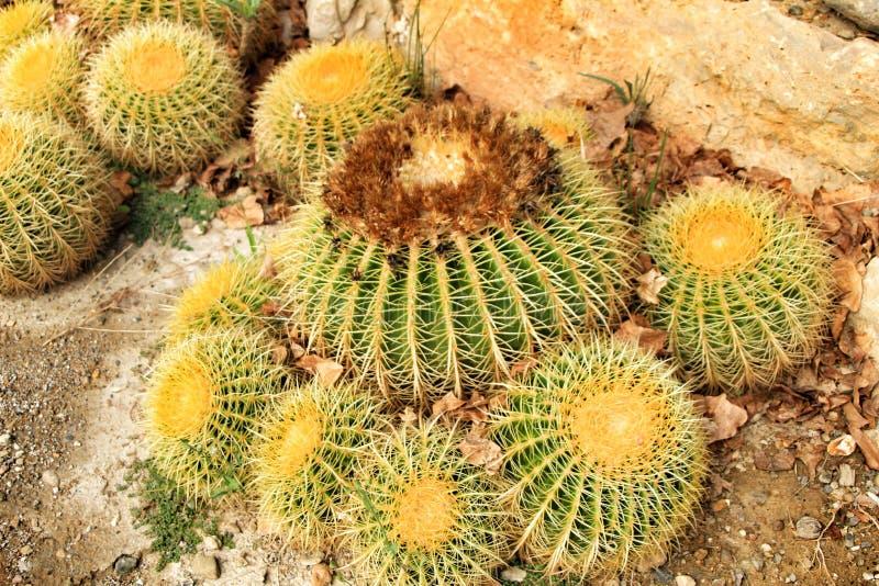 Echinocactus grusonii tekstura w ogródzie obrazy royalty free