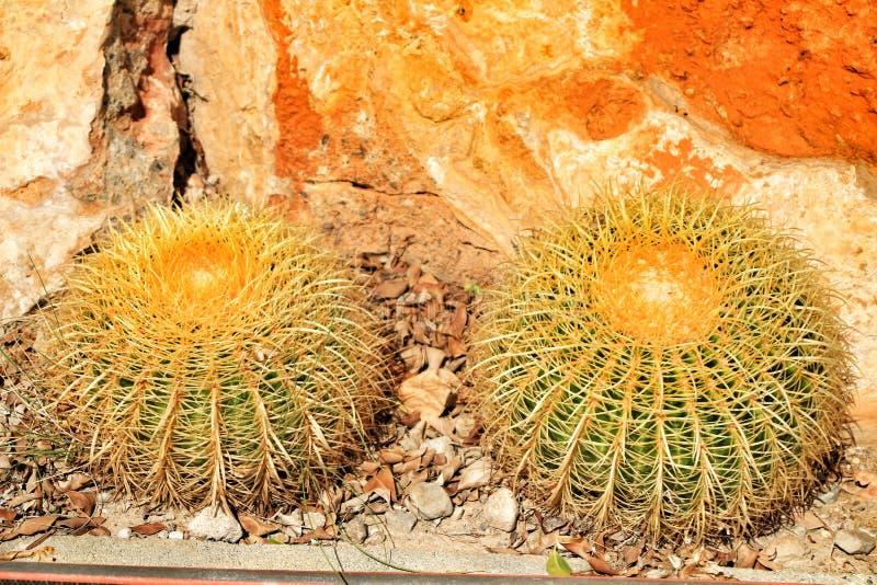 Echinocactus grusonii tekstura w ogródzie fotografia royalty free