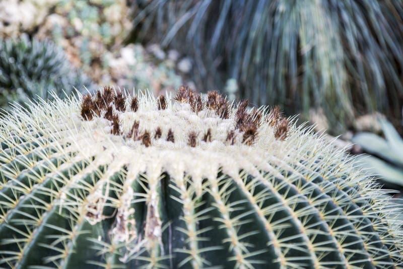 Echinocactus grusonii, złoty lufowy kaktus zdjęcie stock