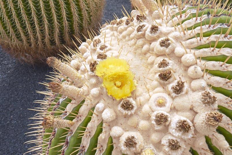 Echinocactus grusonii zakończenie up zdjęcia stock