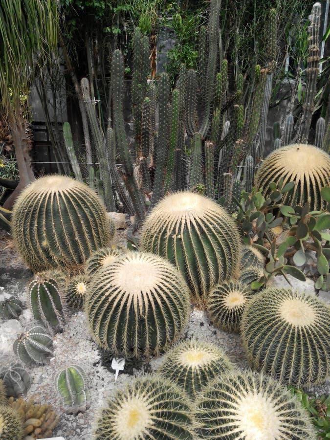 Echinocactus mexikan fotografering för bildbyråer
