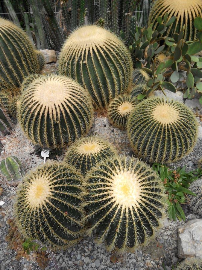 Echinocactus mexikan royaltyfria foton