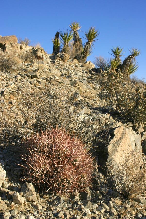 Echinocactus polycephalus, Cottontop kaktus, Wielogłowy Lufowy kaktus obraz royalty free