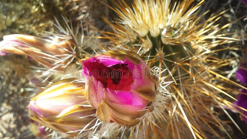 Echinocereus Engelmannii Cactus Blossoming in Bright Sunlight in Spring in Phoenix, Arizona. Strawberry Hedgehog Cactus or Engelmann`s Hedgehog Cactus royalty free stock photography