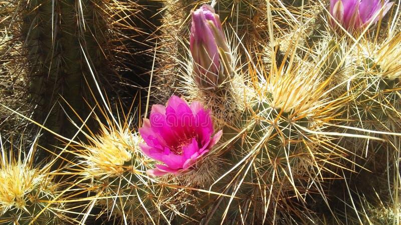Echinocereus Engelmannii-Kaktus, der im Frühjahr im hellen Sonnenlicht in Phoenix, Arizona blüht stockfoto