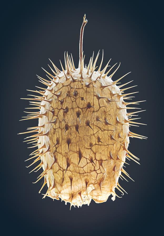 Echinocystis-Lobata - wilde Gurke, stachelige Gurke oder Balsam lizenzfreie stockbilder