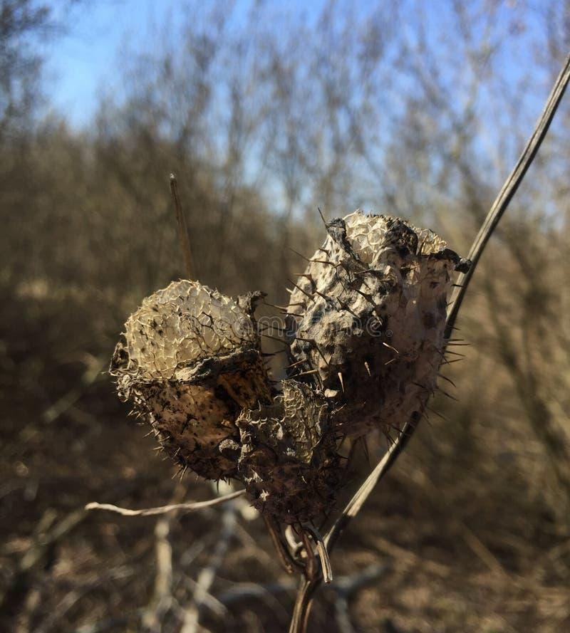 Echinocystis som är torr på skogbakgrund royaltyfri fotografi