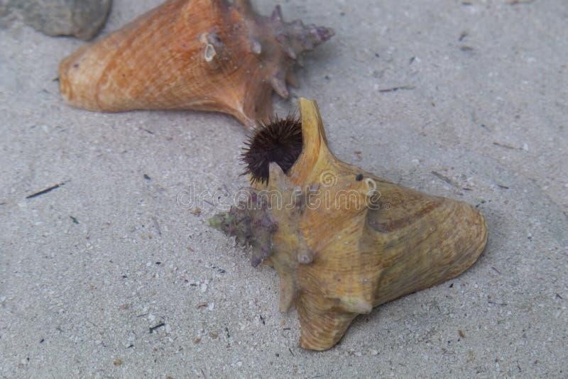 Echinoids u. x28; Echinoidea& x29; , allgemein bekannt als Seeigel stockbilder