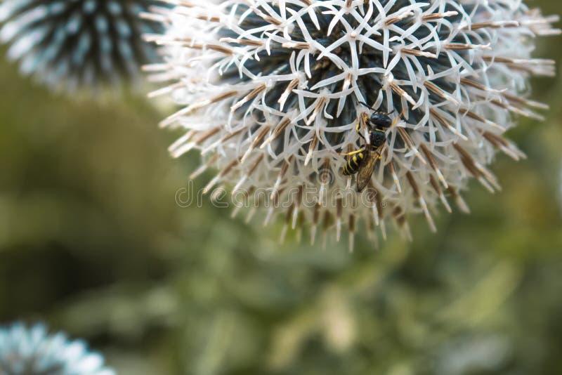 Echinops shaerocephalus obrazy stock