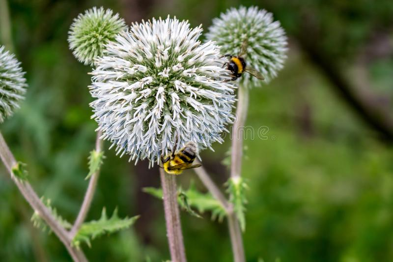 Echinops sphaerocephalus und Bienen stockfotografie
