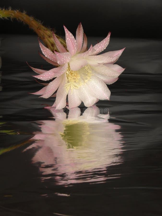 Echinopsis foto de archivo