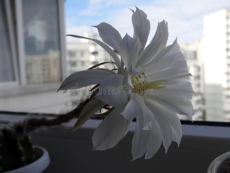 Echinopsis στοκ εικόνες