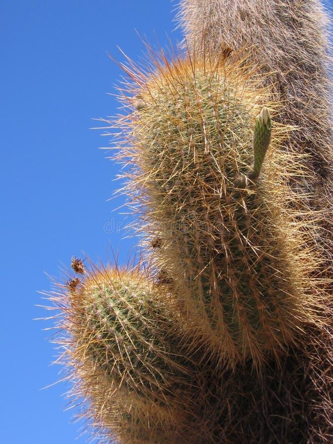 Echinopsis atacamensis,巨型仙人掌,玻利维亚 库存照片