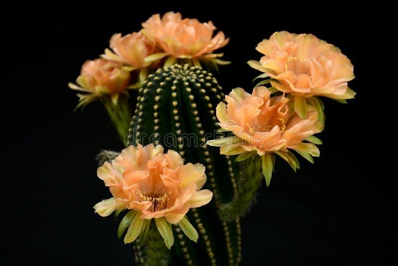 Echinopsis hybrid- orange Paramount på svart bakgrund arkivfoton