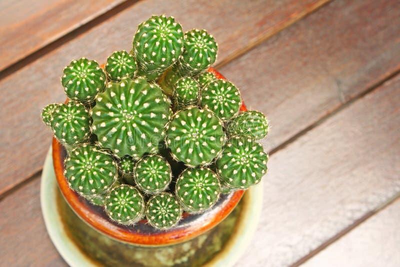 Echinopsis kaktus i kruka royaltyfri bild