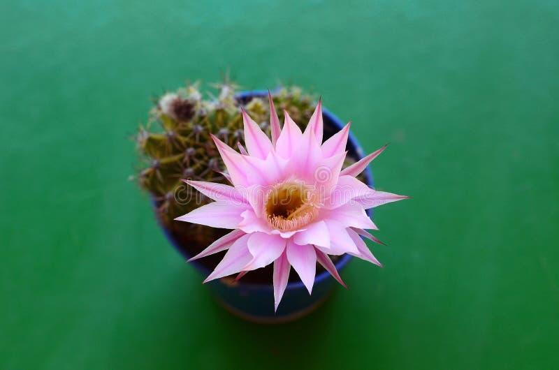 Download Echinopsis Oxygona In Der Blume Stockbild - Bild von grün, kakteen: 96934129