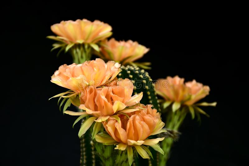 Echinopsis Paramount alaranjado híbrido isolado no fundo preto imagem de stock