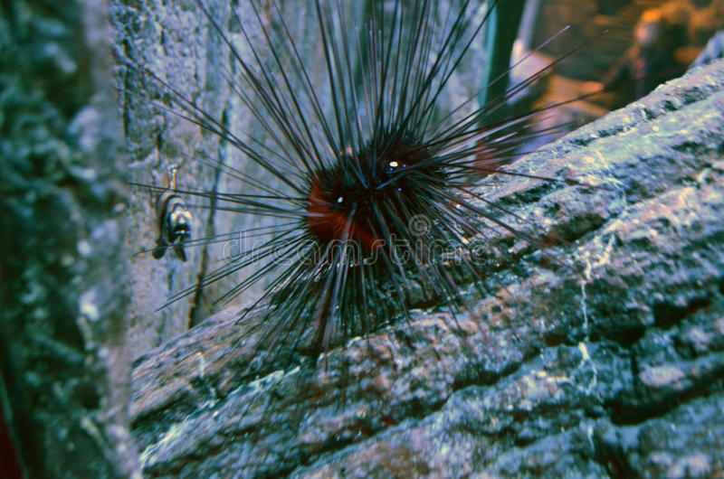Echinus στοκ εικόνες