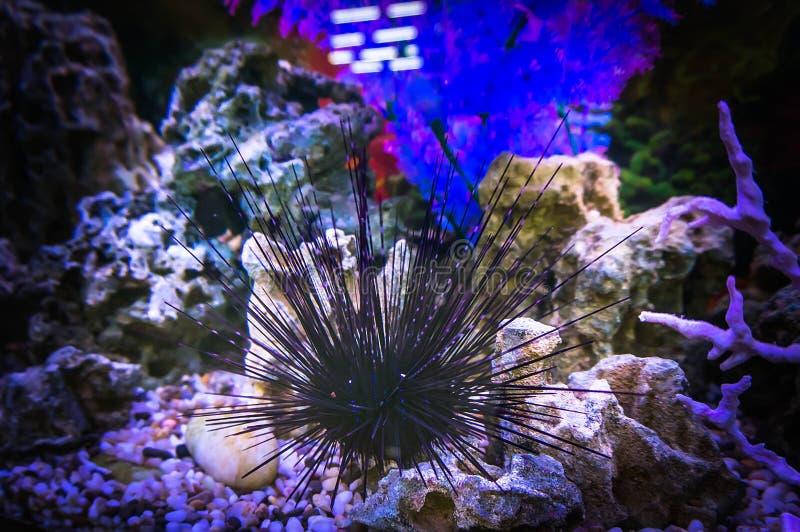Echinusn、野孩子、海顽童或者海猬 礁石坦克,海洋水族馆 充分蓝色水族馆的片段植物 免版税库存照片