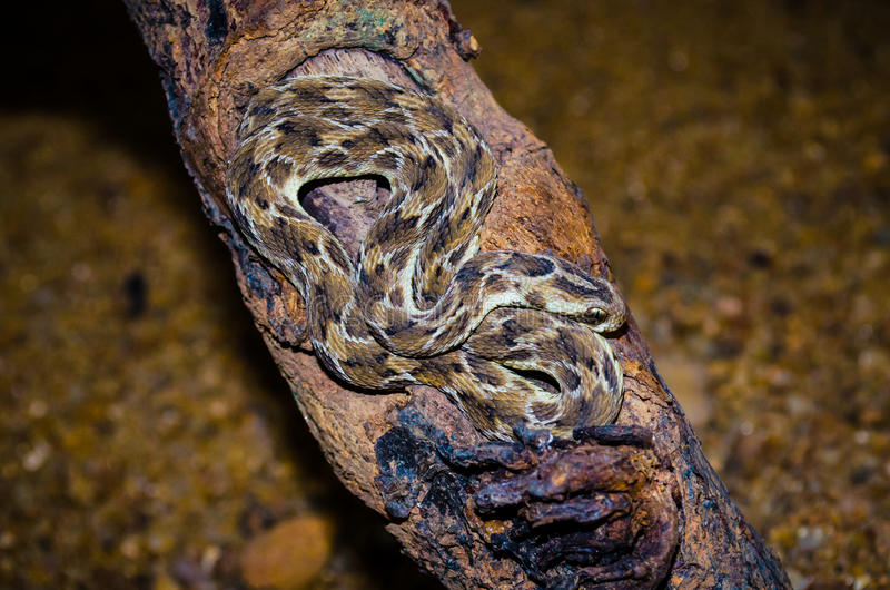 Echis Carinatus; Saw scaled Viper. Echis carinatus, commonly called the saw-scaled viper, is a venomous viper species found in parts of the Middle East and stock photos