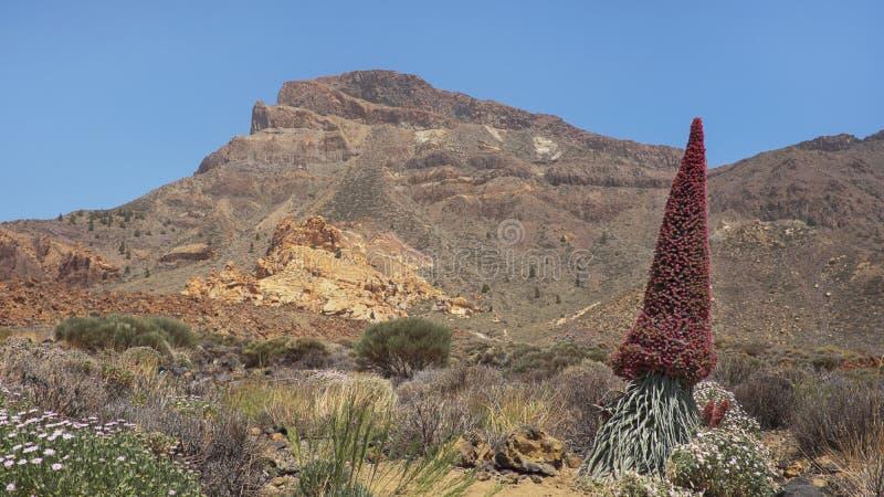 Echium wildpretii also known as Tajinaste rojo flower, on the path to Alto deu Guajara, Tenerife, Canary Islands, Spain stock images