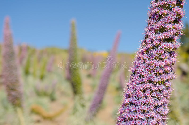 Echium wildpretii ssp trichosiphon plant in Roque de Los Muchachos. Echium wildpretii ssp trichosiphon plant also known as tower of jewels, pink bugloss or La royalty free stock image
