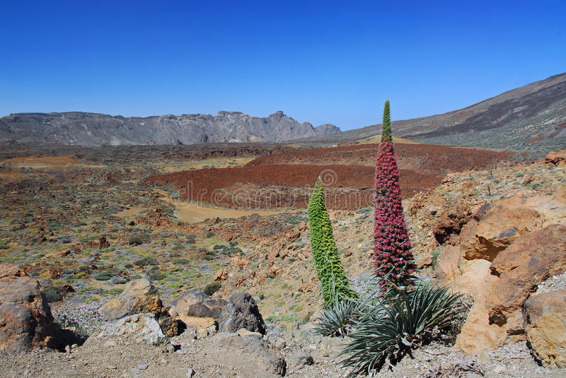 Echium Wildpretii on the Tenerife Teide volcano royalty free stock photography