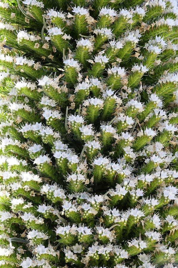Echium wildpretii w Tenerife, wyspy kanaryjska. fotografia stock