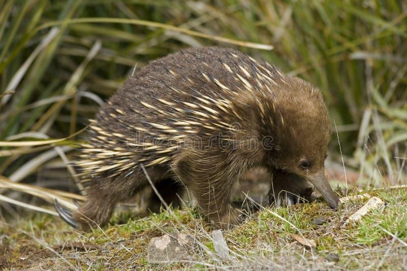 Echnida australien images libres de droits