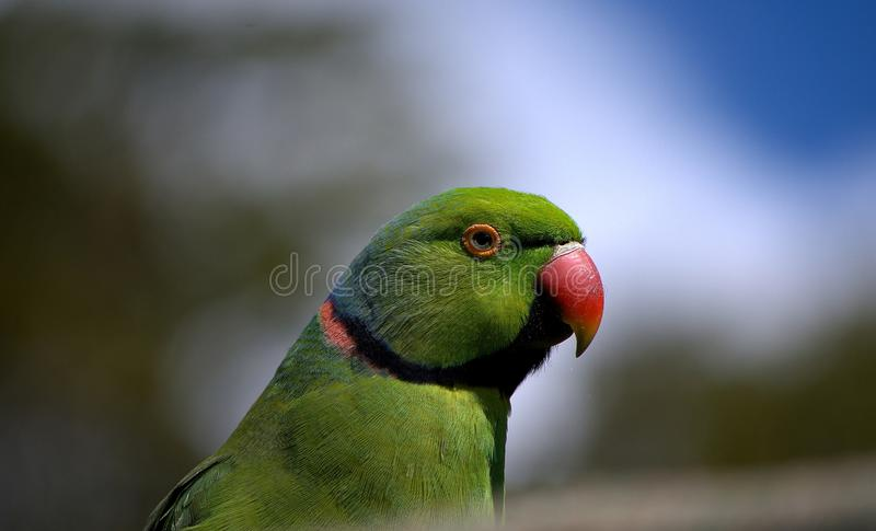 Echo Parakeet stockfoto