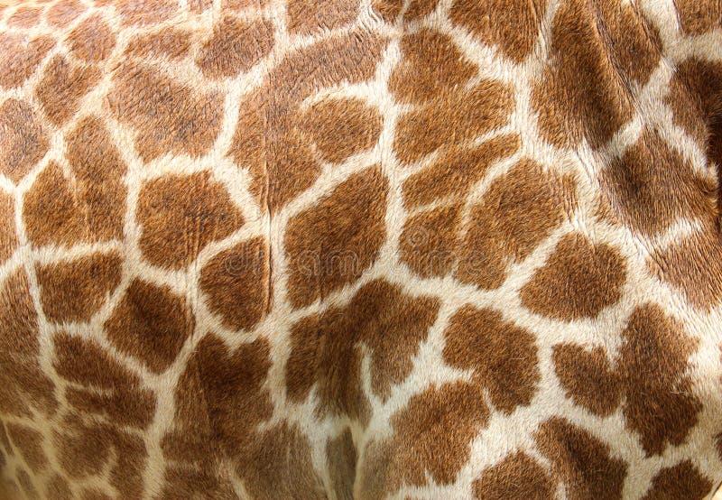 Echte leerhuid van giraf royalty-vrije stock fotografie