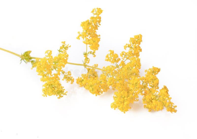 Echtes Labkraut Galium verum Blume oder gelbes Labkraut lokalisiert auf Weiß lizenzfreies stockfoto