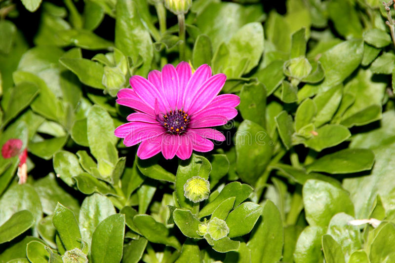 Ecklonis 'Akila di Osteospermum porpora', margherita africana immagine stock libera da diritti