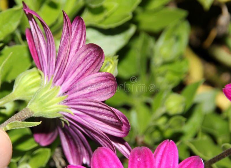 Ecklonis 'Akila di Osteospermum porpora', margherita africana fotografie stock libere da diritti