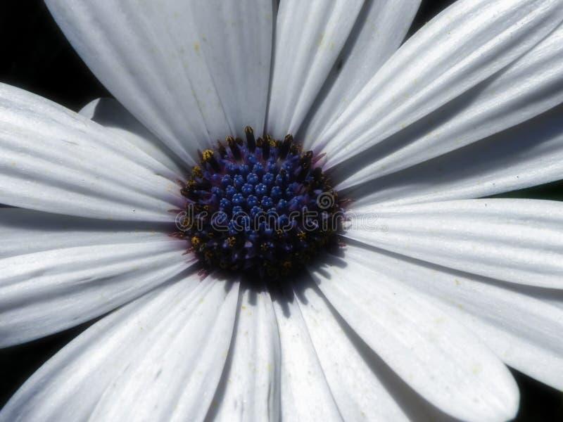 Ecklonis 2 Osteospermum στοκ εικόνες με δικαίωμα ελεύθερης χρήσης