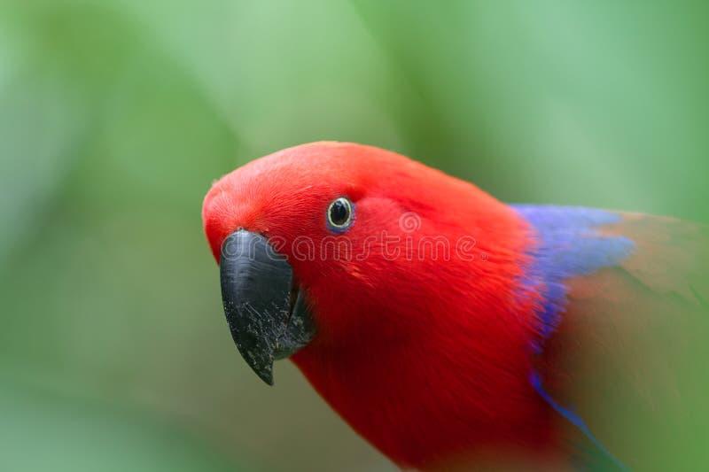 eclectus鹦鹉Potrait反对绿色背景的 库存照片