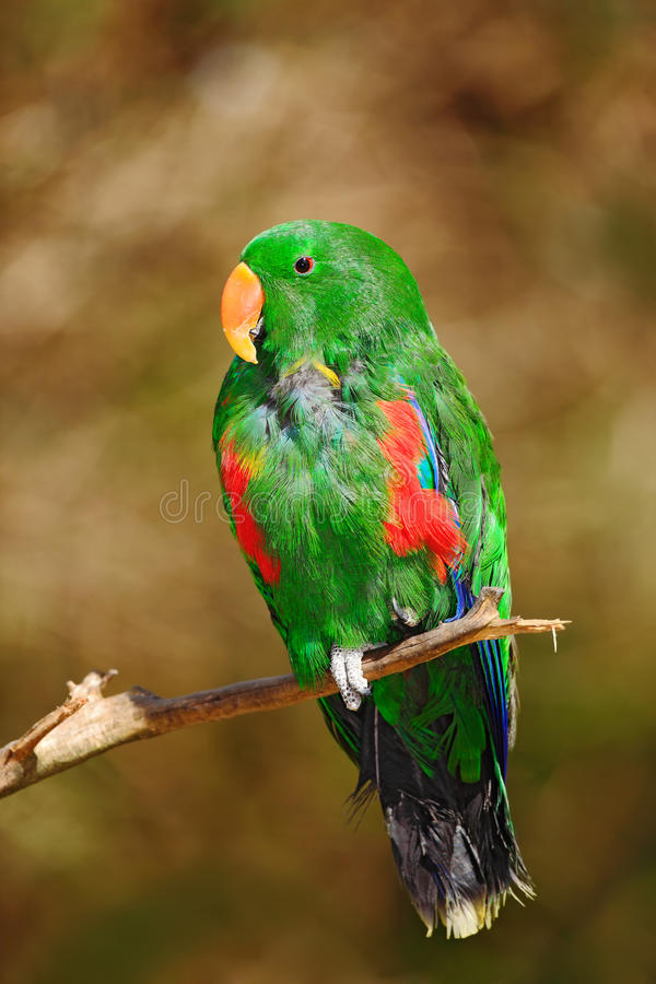 Eclectus-Papagei, Eclectus-roratus polychloros, Grüner und Roter Papagei, der in der Niederlassung, brauner Hintergrund des freie stockbilder