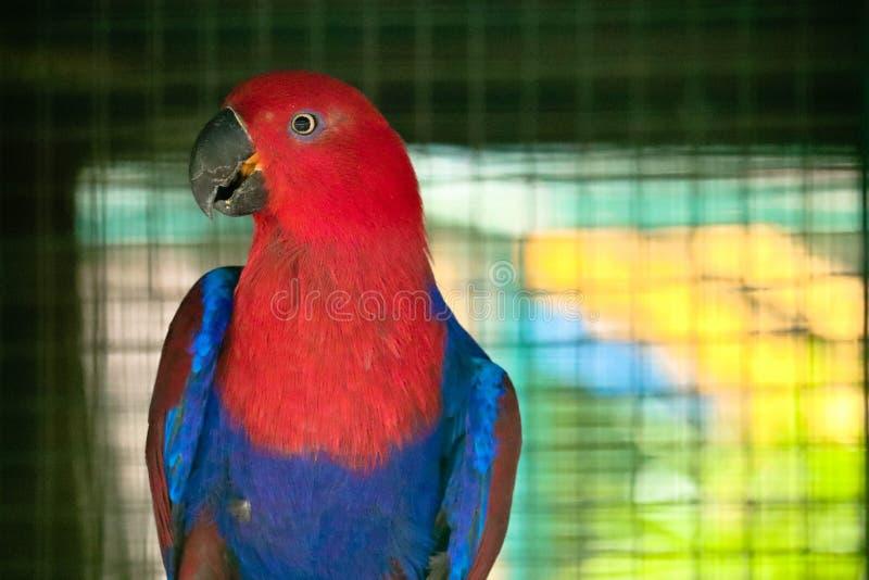 Eclectus-Papagei im Zoo stockfotos