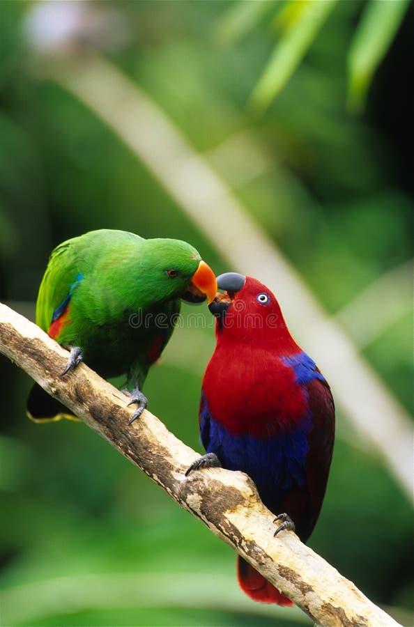 Eclectus Papageien lizenzfreies stockbild