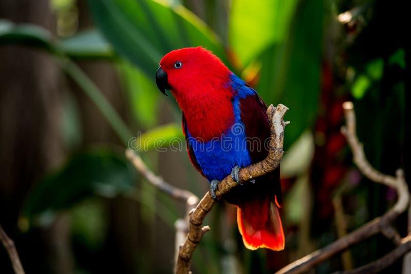 Eclectus papuga przy Bloedel konserwatorium obraz royalty free