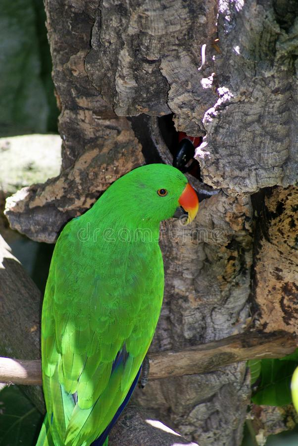 Download Eclectus Parrot stock photo. Image of outdoor, eclectus - 20182674