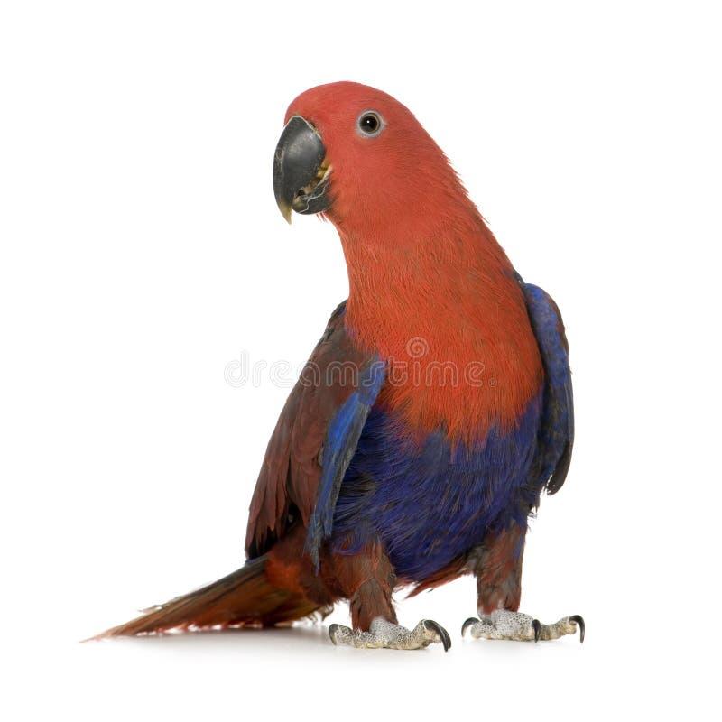 Download Eclectus Parrot - Eclectus Roratus  (1 Years) Stock Image - Image: 4991255